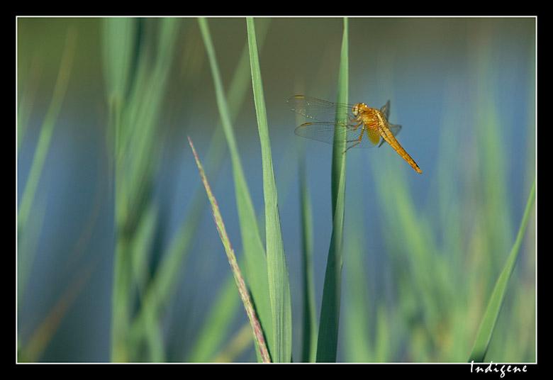 La libellule orange