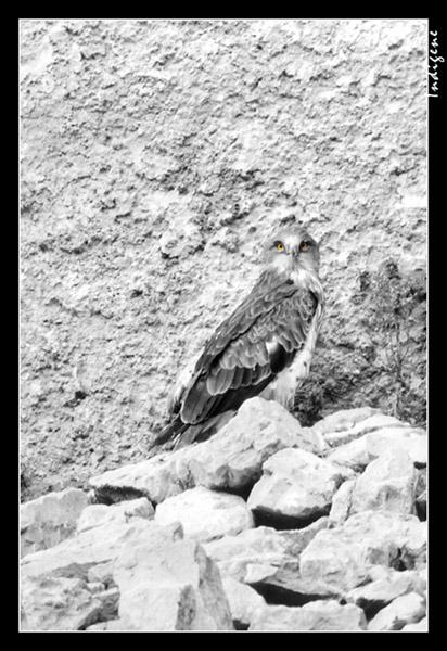 L'aigle près de son repaire