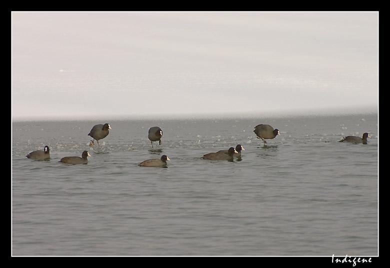 Les foulques du lac