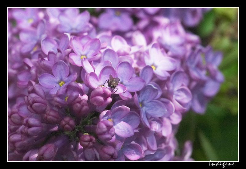 La mouche et le lila