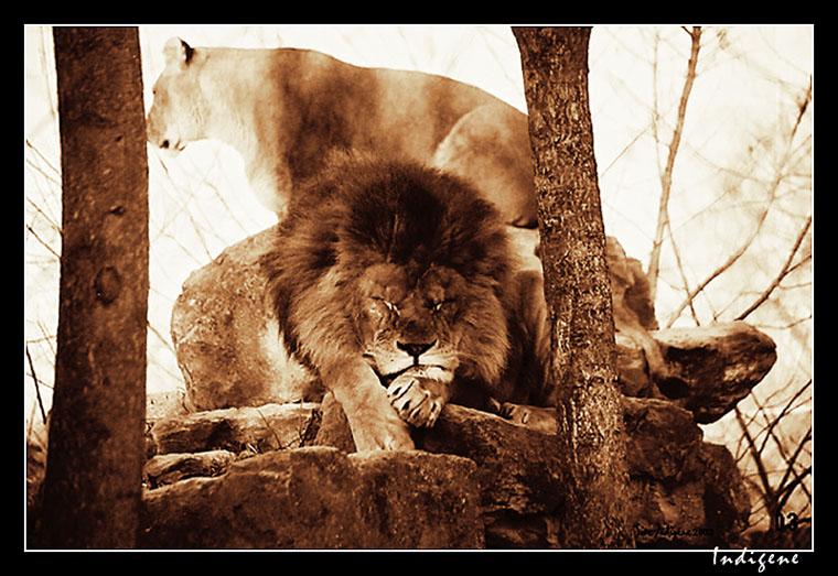 Couple de lions au repos