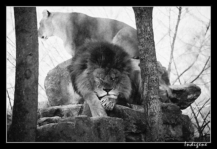 Couple de lions en noir et blanc