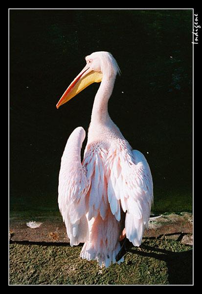 Pélican au Parc de la tête d'or