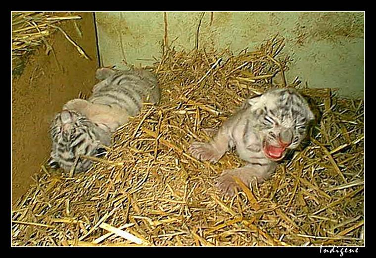 Les tigrons