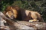photo Le lion