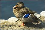 photo Le canard à plumes bleues