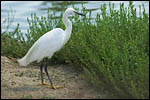 photo L'aigrette