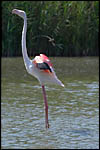 photo Le flamant rose allonge le cou