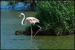 photo Un flamant rose