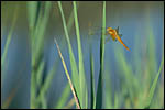 photo La libellule orange