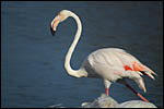 photo Le fier flamant rose