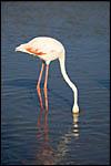 photo Le flamant rose cherche son repas