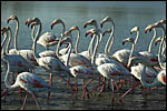 photo Les flamants