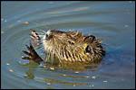photo Le ragondin dans l'étang