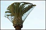 photo La palmier coiffé