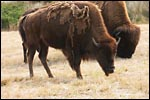 photo Les bisons