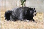 photo L'ours noir