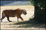 photo Le tigre