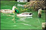 photo Les colverts du lac du Héron