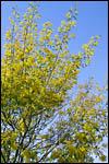 photo Les mimosas en fleur