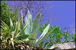photo Aloes à Vernet