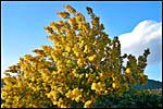photo Mimosa