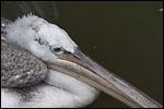 photo Pelican