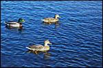 photo Canard sur le lac d'Autun