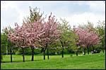 photo Les cerisiers en fleur