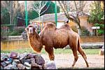 photo Le chameau