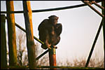 photo Le chimpanzé