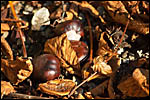 photo Les marrons