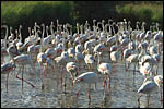 photo Les flamants roses