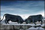 photo Combat de vaches