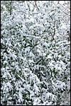 photo Laurier sous la neige