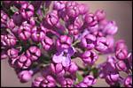photo Fleurs de lila