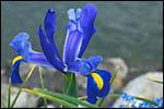 photo Iris bleu