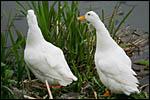 photo Les oies sauvages